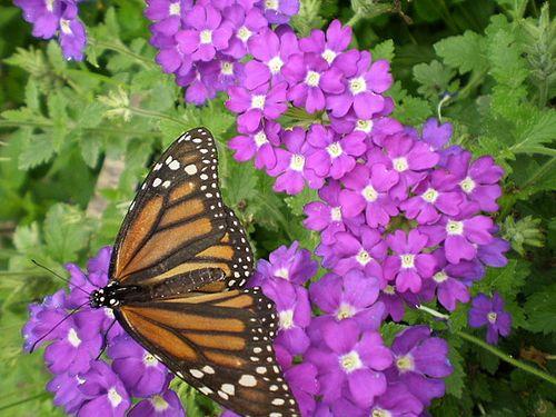 Butterfly20100606_41