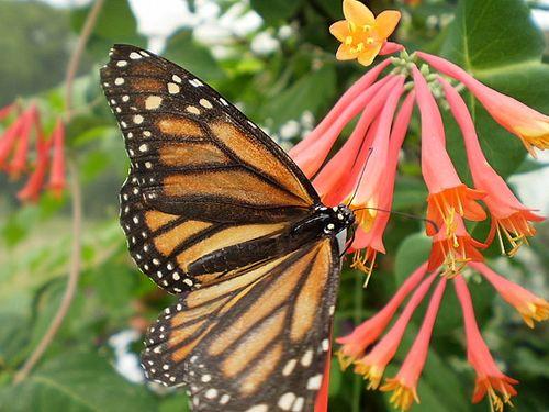 Butterfly20100606_35